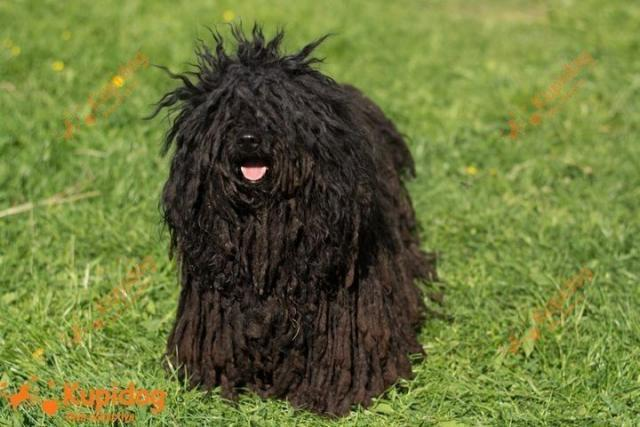 Собака породы Пули.