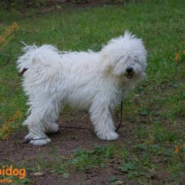 Щенок Пули. Собака породы Пули.