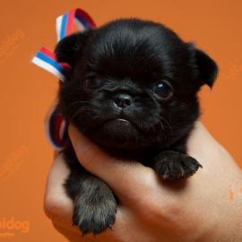 """Брабансон щенок. Питомник собак """"Для счастья""""."""